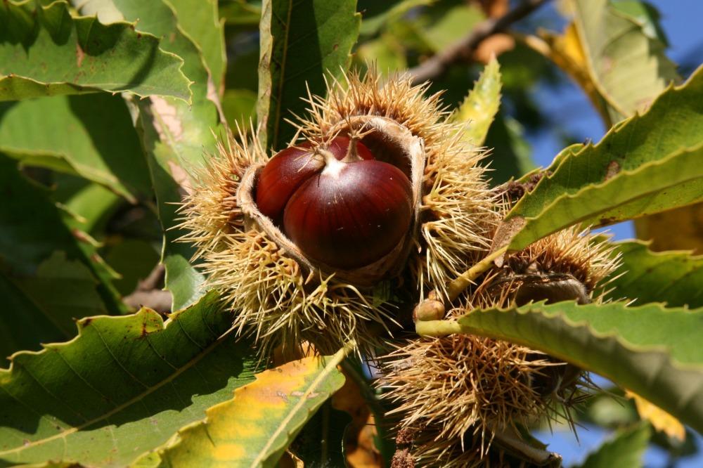chestnut-3733522_1920